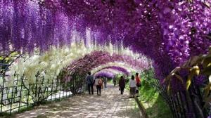 Kawachi Fuji, Taman Paling Berwarna di Jepang