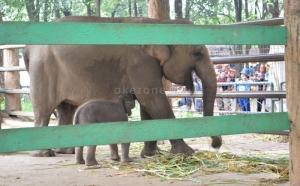 Aswita, Si Induk Gajah Sumatera Ditemukan Mati