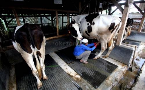 Kemarau Panjang, Pakan Ternak Tetap Melimpah di Prambanan