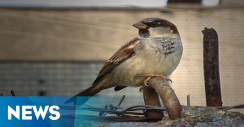 Pelepasan Burung Pipit Meriahkan Perayaan Imlek di Petak Sembilan