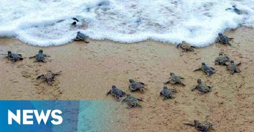 Kelompok Konservasi Temukan Ratusan Telur Penyu di Tepi Pantai