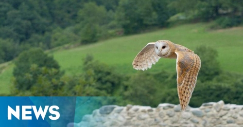 Usir Hama Tikur, Petani di Tabanan Andalkan Burung Hantu
