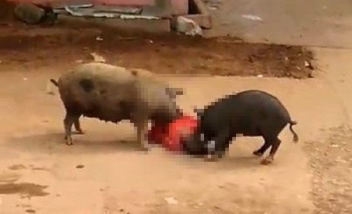 VIDEO: Mengerikan! Seorang Perempuan di India Diserang Dua ekor Babi di Jalanan