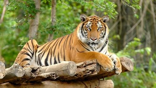 Diduga Harimau Jawa, Temuan Feses Kucing Besar dari Ujung Kulon Akan Diteliti di IPB