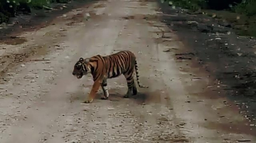 Petugas Ubah Strategi Tangkap Harimau Bonita
