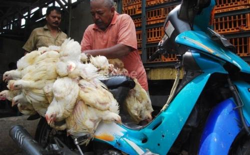 Bisnis Ternak Ayam Potong Kian Menggiurkan, Begini Hitung-hitungannya